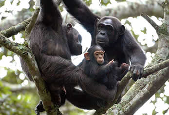 Chimp-family-nyungwe-forest