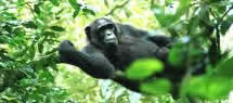 chimps tracking africa