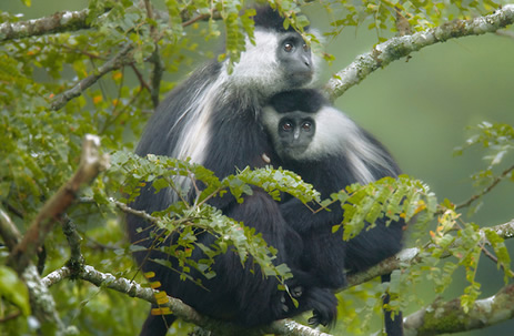 colobus-monkeys-nyungwe-forest