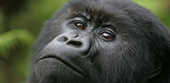 http://www.rwandagorillasafaris.com/tourists-touched-by-baby-gorilla-in-rwanda