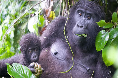 gorilla-bwindi-impenetrable-national-park