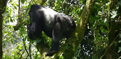 gorilla-forest-camp-bwindi