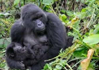 gorilla-volcanoes-national-park