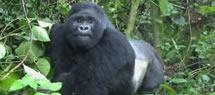 mgahinga-gorilla-uganda