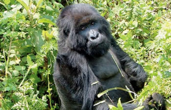 virunga-mountain-gorillas