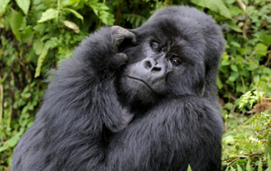 silverback-mountain-gorilla-volcanoes-national-park-rwanda