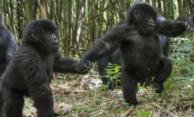 baby-gorillas