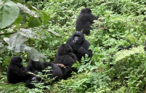 family-of-gorillas-rwanda