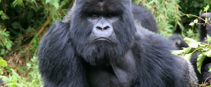 5 Day Gorilla Tour with 3 Gorilla Treks